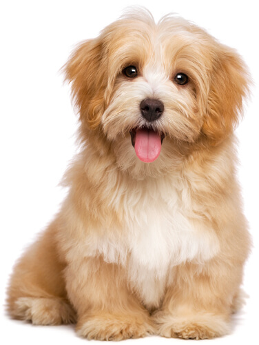 Golden Havanese